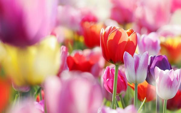 Тюльпаны в Ботаническом саду Таллинна