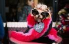 Модница недели: йоркширский терьер Lola Sunshine