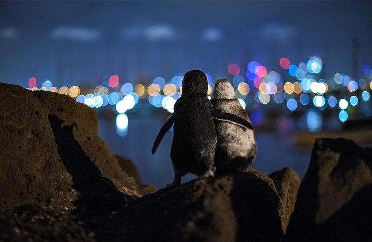 пара пингвинов любуется вечерним Мельбурном, обнявшись